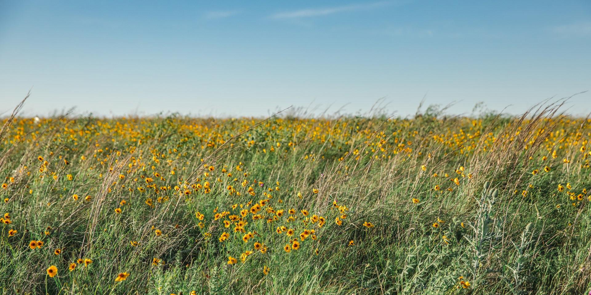 Fort Worth wildflowers in Ventana